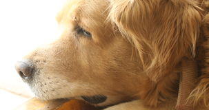 Close up of the Dog.  stock video footage