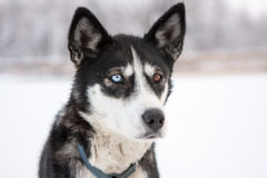 Close Up of Dog with Different Color Eyes. Close Up of Husky Type Sled Dog with Different Color Eyes Outside in Snow Stock Images