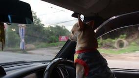 Dog driving car. Close up dog driving car stock video