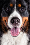 Close up dog head Royalty Free Stock Images