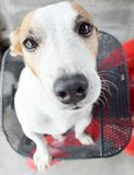 Close up dog Jack russel Royalty Free Stock Photography