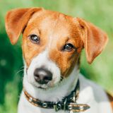 Close Up Dog Jack Russel Terrier Stock Photo