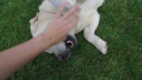 Close-up dog Labrador playing