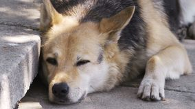Close up dog lazy on the ground with 4K resolution. Animal life concept