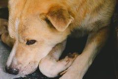 Free Close-up Dog Light Brown Sat Down And Sleep Royalty Free Stock Photos - 96107518