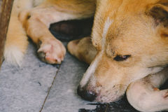 Close-up dog light brown sat down and sleep. At home Royalty Free Stock Image