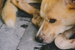 Close-up dog light brown sat down and sleep. At home Stock Images