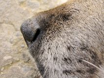 Close up Dog nose Royalty Free Stock Images