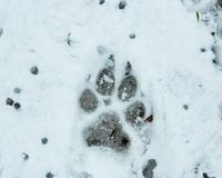 Dog paw print in melting snow. Close-up of a dog paw print on snow covered ground after blizzard white storm stock photo
