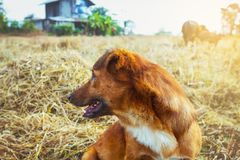 Close up a dog. Playing on the grass and have buffalo on background Stock Photos