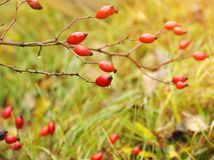 Close-up of dog-rose berries. Dog rose fruits Rosa canina on the blurred green grass. Wild rosehips in nature. Sunrise over Red royalty free stock image