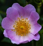 Close-up of a Dog Rose flower and petals Rosa canina royalty free stock photo