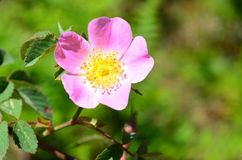 Close-up of a dog rose,  with green leaves on a blurry backgroun. Wild pink rose with selective focus Stock Image
