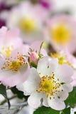 Close-up of a dog rose Stock Photos