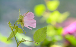 Close-up of a dog rose Royalty Free Stock Image