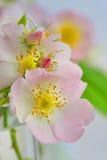 Close-up of a dog rose, Rosa canina Royalty Free Stock Image
