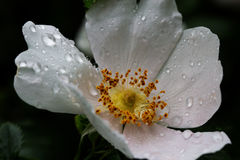Close-up of a dog rose wild rose with drops. Royalty Free Stock Image