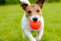 Close up of dog running and playing fetch with orange ball toy. Portrait of Jack Russell Terrier with toy in mouth Royalty Free Stock Images