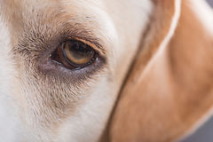 Close up of a dog`s eye Royalty Free Stock Photo