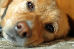 Close-up of Dog's face, realxing on ground stock images