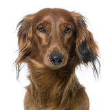 Close-up on a dog's head, Dachshund, front view Royalty Free Stock Photo