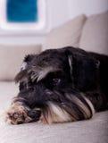 Close up of dog on sofa Royalty Free Stock Image