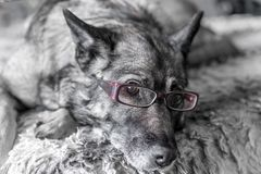 Close-up of dog wearing pink reading glasses stock photography
