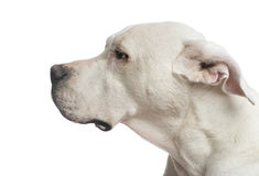 Close-up of a Dogo Argentino looking away Stock Images