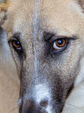 Close up on dogs eyes Royalty Free Stock Photos