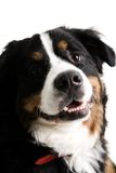 Close up of a dogs face. On a white background Royalty Free Stock Images