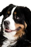 Close up of a dogs face Royalty Free Stock Image