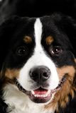 Close up of a dogs face. On a white background Stock Images