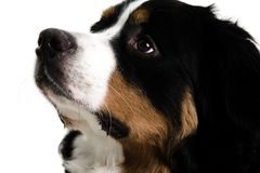 Close up of a dogs face. On a white background Royalty Free Stock Photo