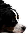 Close up of a dogs face Stock Image