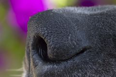 A Close Up of a Dogs Nose.  royalty free stock images