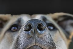 A Close Up of a Dogs Nose and face Royalty Free Stock Image