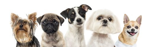 Close-up of dogs in a row, isolated Stock Image