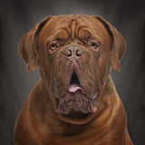 Close-up of Dogue de Bordeaux, 20 months old Stock Photography