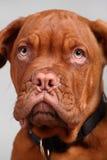 Close-up of dogue de bordeaux Stock Photo