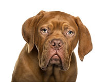 Close-up of Dogue de Bordeaux Royalty Free Stock Images