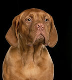 Close-up of Dogue de Bordeaux puppy Royalty Free Stock Photos