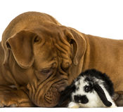 Close-up of a Dogue de Bordeaux sniffing a Lop rabbit, isolated. On white royalty free stock image