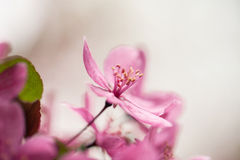 Close up of Dogwood Tree Bloom in Spring Royalty Free Stock Images