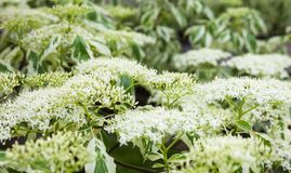 Close up of the dogwood white flowers and leaves stock photography
