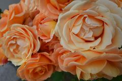Close up on Dolce Vita rose inflorescence. Closeup on inflorescence of beautiful Dolce Vita rose, colored in orange, apricot and yellow tones Royalty Free Stock Photos