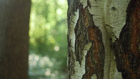 Close-up dolly shot of a birch trunk. Shallow depth of field stock video footage