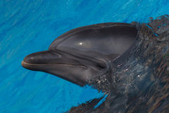 Close up of dolphin Royalty Free Stock Photo