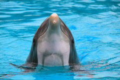 Close-up dolphin in blue water stock image