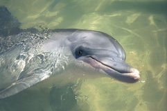 Close up dolphin face-grain Royalty Free Stock Photo