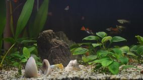 Close up of a domestic aquarium full of young fish. The majority of them are guppies, some females are pregnant, red neons and gr stock video footage